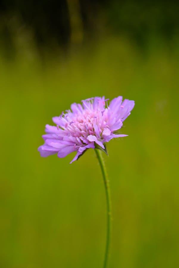 Άγριο λουλούδι στο θερινό λιβάδι στοκ εικόνες