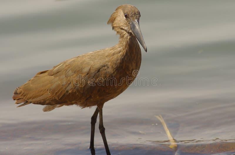 Άγριο πουλί κοντά στη λίμνη στην Αιθιοπία, το Φεβρουάριο του 2019 στοκ εικόνα