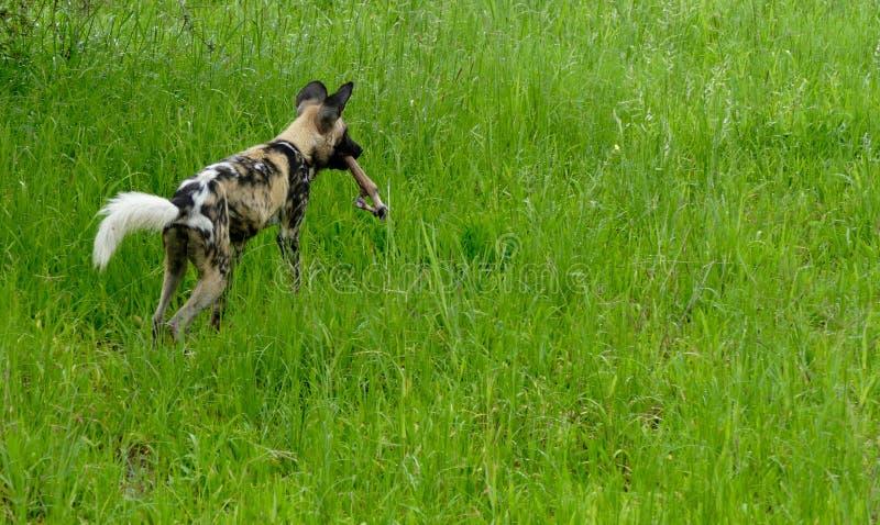Άγριο σκυλί της Μποτσουάνα στοκ φωτογραφίες με δικαίωμα ελεύθερης χρήσης