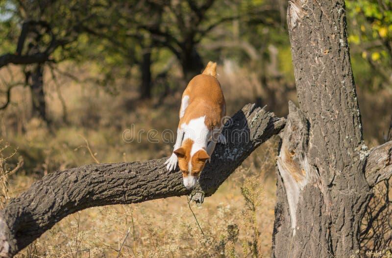Άγριο σκυλί Basenji που πηδά μακριά από το σπασμένο δέντρο στοκ φωτογραφίες