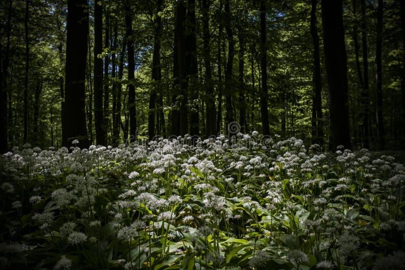 Άγριο σκόρδο στο ` hainich-δασικό `, Γερμανία στοκ φωτογραφία με δικαίωμα ελεύθερης χρήσης