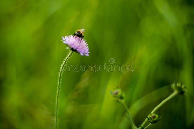άγριο υπόβαθρο λουλουδιών στη φύση και τη μέλισσα στοκ φωτογραφία με δικαίωμα ελεύθερης χρήσης