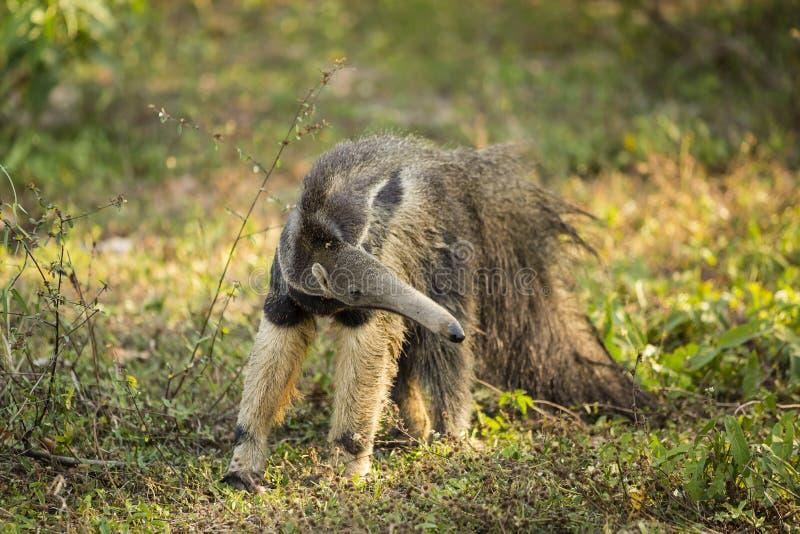 Άγριο Anteater που σταματά για να απεικονίζει στοκ εικόνες με δικαίωμα ελεύθερης χρήσης