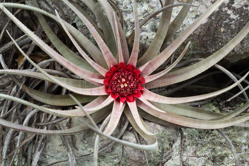 Άγριο cerrado bromélia στοκ εικόνα