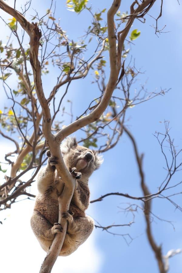 Άγριο koala σε ένα δέντρο στοκ εικόνες με δικαίωμα ελεύθερης χρήσης