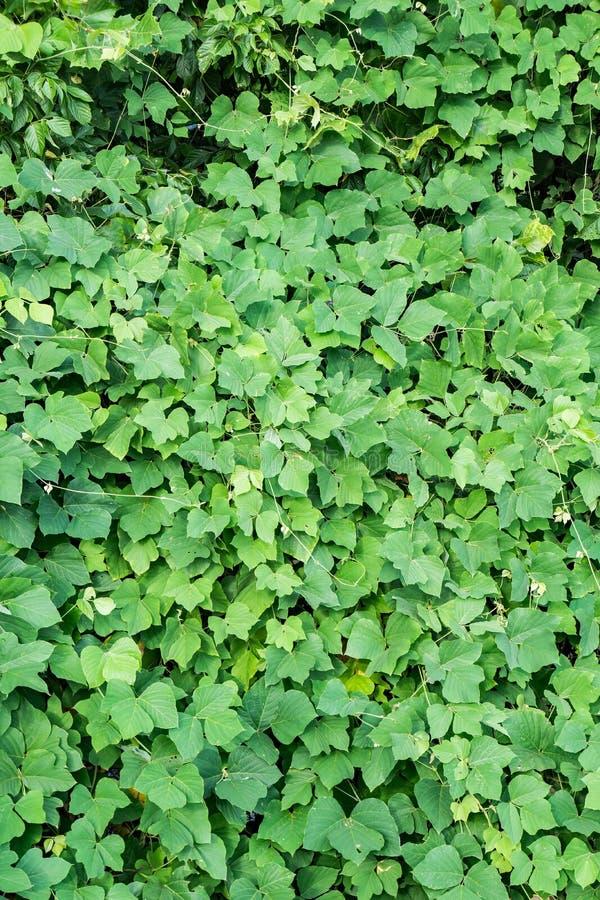 Άγριο Kudzu †«Pueraria λοβώδες στοκ φωτογραφία με δικαίωμα ελεύθερης χρήσης