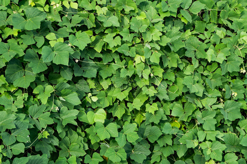 Άγριο Kudzu †«Pueraria λοβώδες στοκ εικόνες
