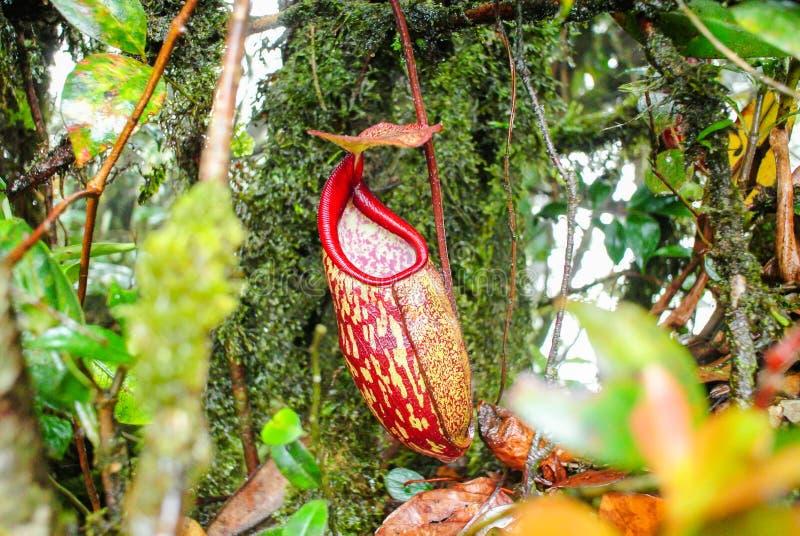 Άγριο Nepenthes, τροπικές εγκαταστάσεις σταμνών, κόκκινα φλυτζάνια πιθήκων στοκ εικόνες με δικαίωμα ελεύθερης χρήσης