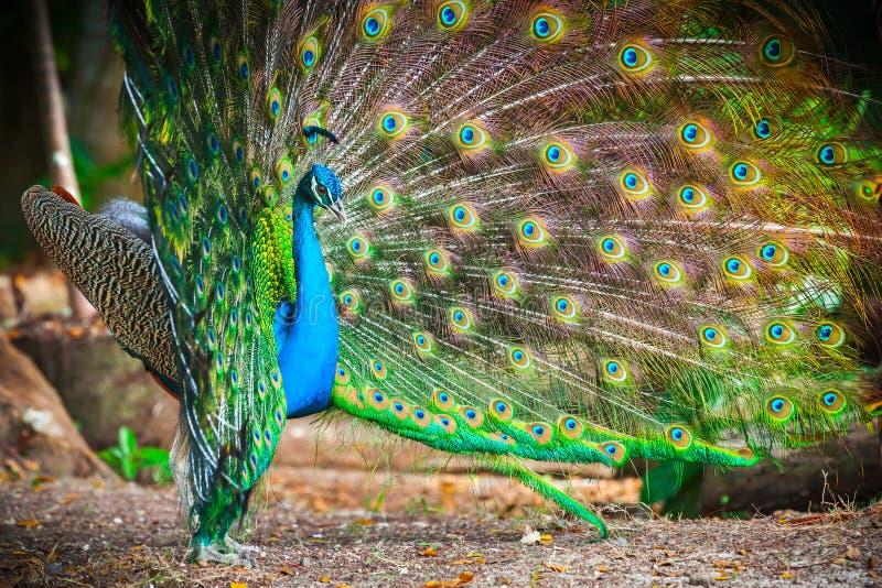 Άγριο peacock σε πιό theforest με τα φτερά έξω στοκ εικόνα με δικαίωμα ελεύθερης χρήσης