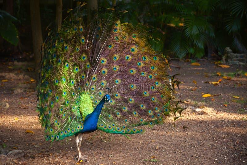 Άγριο Peacock στο τροπικό δάσος με τα φτερά έξω στοκ φωτογραφία