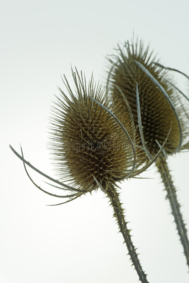 Άγριο Teasel (Dipsacus Fullonum) στενό σε επάνω στοκ εικόνα με δικαίωμα ελεύθερης χρήσης