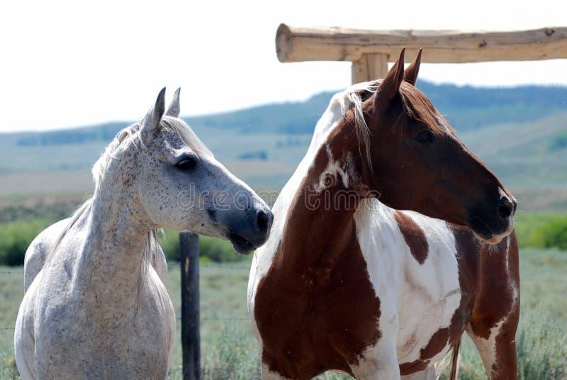 άγρυπνα άλογα δύο στοκ εικόνα