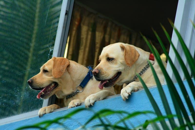 άγρυπνα σκυλιά δύο ρολόι στοκ φωτογραφία με δικαίωμα ελεύθερης χρήσης