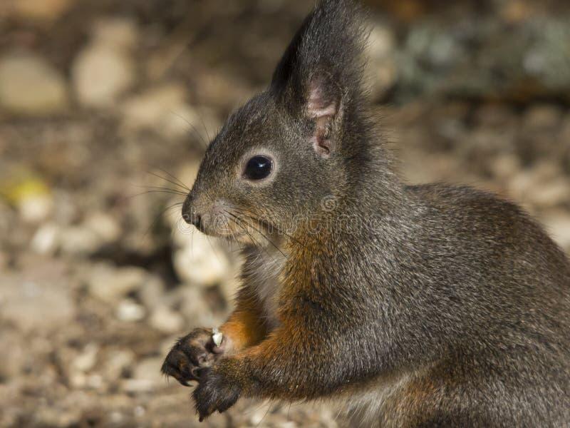 Άγρυπνος γκρίζος σκίουρος που κρατά ένα καρύδι στα πόδια του στοκ εικόνες