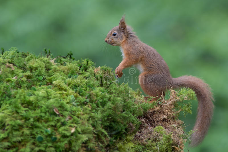 Άγρυπνος κόκκινος σκίουρος στοκ φωτογραφίες