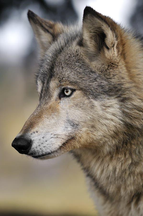 άγρυπνος λύκος ξυλείας & στοκ φωτογραφίες με δικαίωμα ελεύθερης χρήσης