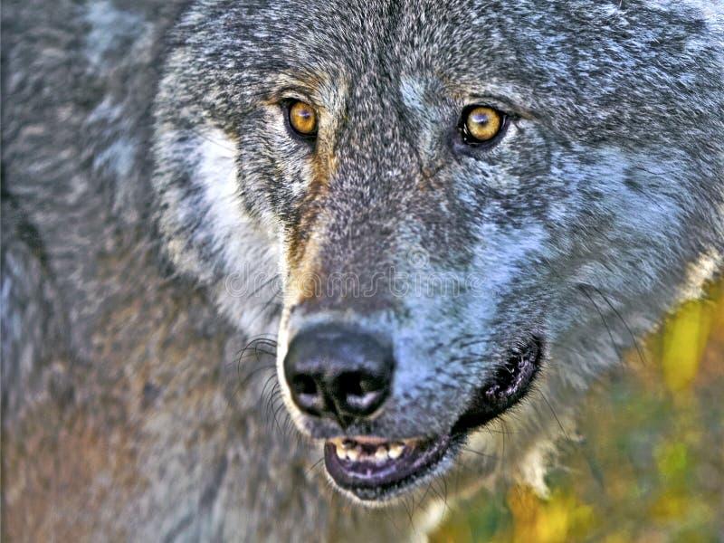 Άγρυπνος λύκος ξυλείας στοκ φωτογραφία με δικαίωμα ελεύθερης χρήσης