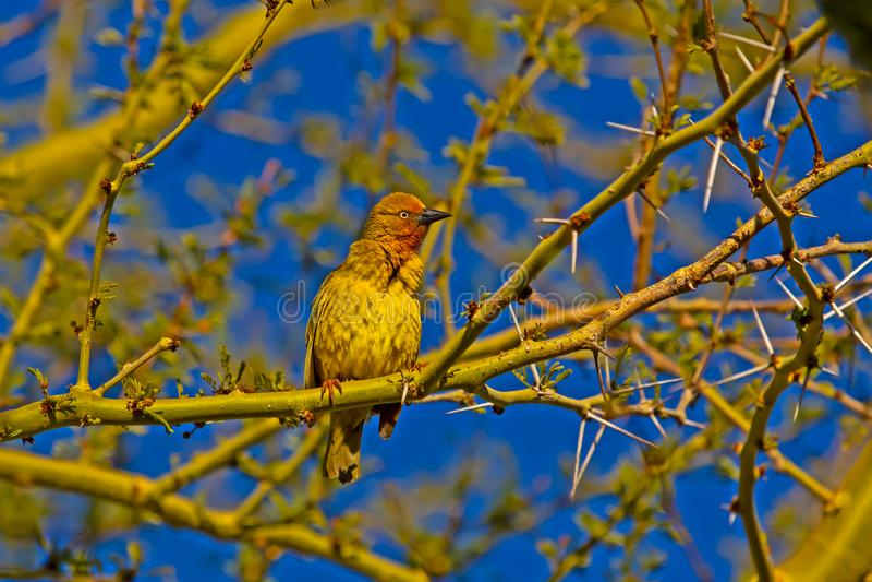 Άγρυπνο αρσενικό πουλί υφαντών ακρωτηρίων στο φτέρωμα αναπαραγωγής στοκ εικόνα