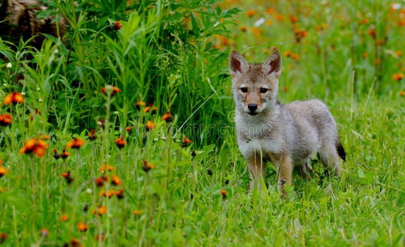 Άγρυπνο κουτάβι λύκων σε έναν τομέα των πορτοκαλιών wildflowers στοκ φωτογραφία