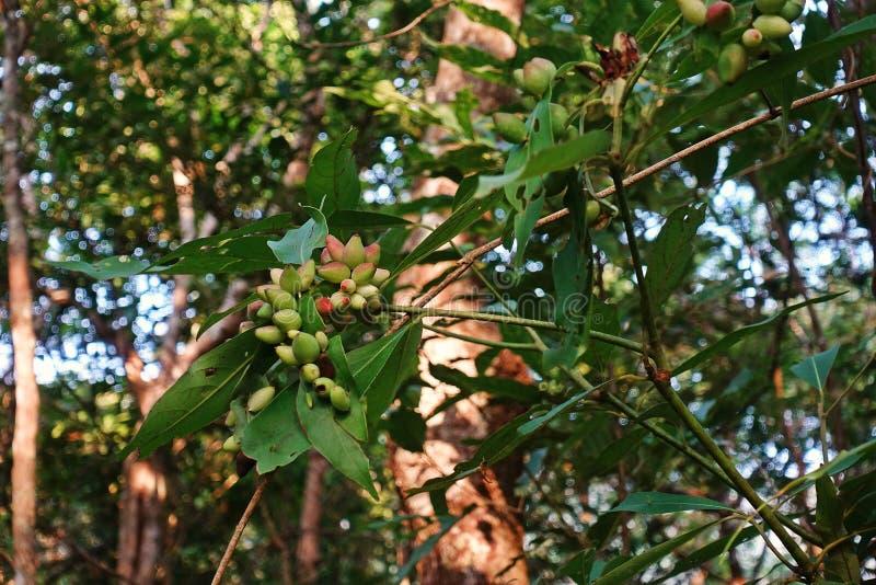 Άκαρια αμυχής που μολύνονται φυτών ξενιστών, δέντρο τροπικών δασών στοκ εικόνα με δικαίωμα ελεύθερης χρήσης