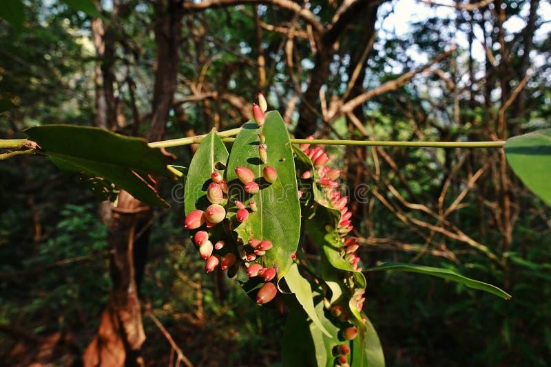 Άκαρια αμυχής που μολύνονται φυτών ξενιστών, δέντρο τροπικών δασών στοκ φωτογραφία
