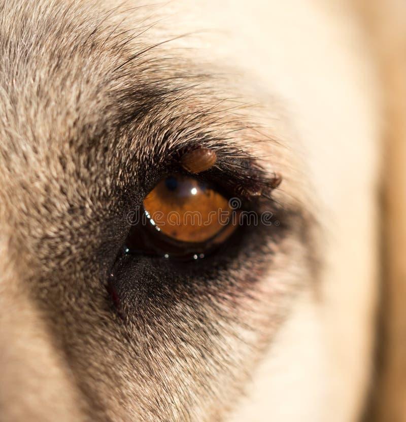 Άκαρια στο μάτι ενός σκυλιού στοκ εικόνες
