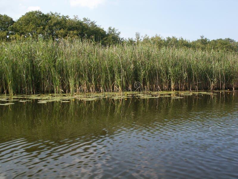 Άκρη νερού καλάμων ελών στοκ φωτογραφία με δικαίωμα ελεύθερης χρήσης