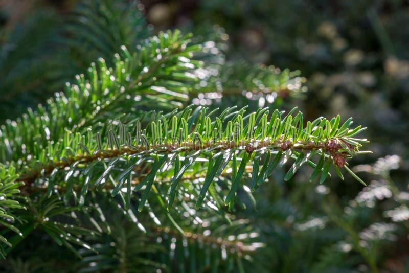 Άκρη του κλάδου του έλατου Nordmann κωνοφόρων δέντρων ή του καυκάσιου έλατου, nordmanniana έλατων Μαλακές βελόνες, χρήσεις ως χρι στοκ εικόνα με δικαίωμα ελεύθερης χρήσης