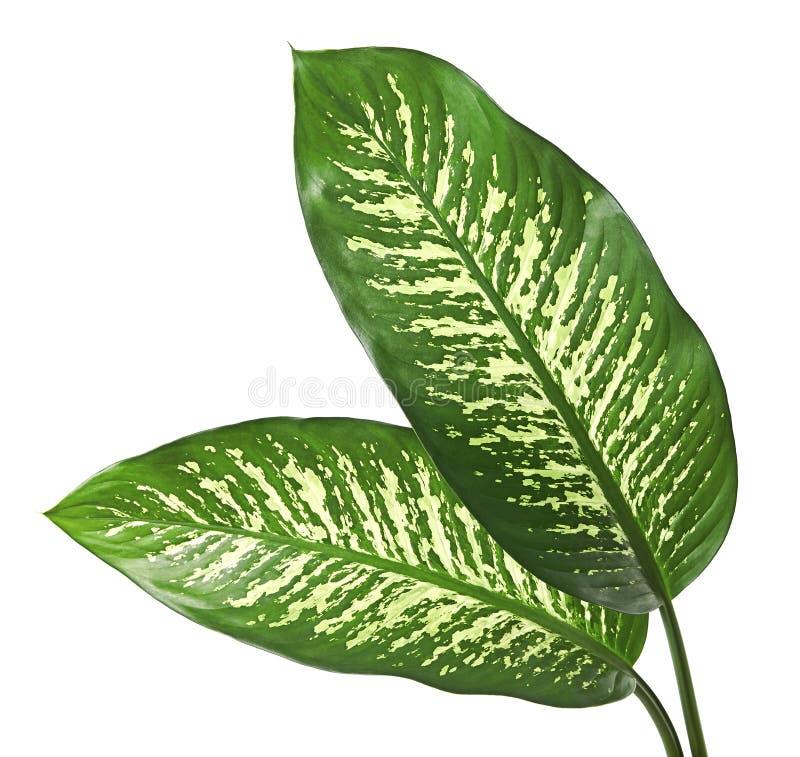 Άλαλος κάλαμος φύλλων Dieffenbachia, πράσινα φύλλα που περιέχουν τα άσπρα σημεία και κηλίδες, τροπικό φύλλωμα που απομονώνεται στ στοκ εικόνες με δικαίωμα ελεύθερης χρήσης