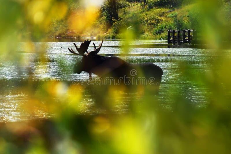 Άλκες που στέκονται στη λίμνη στοκ εικόνες