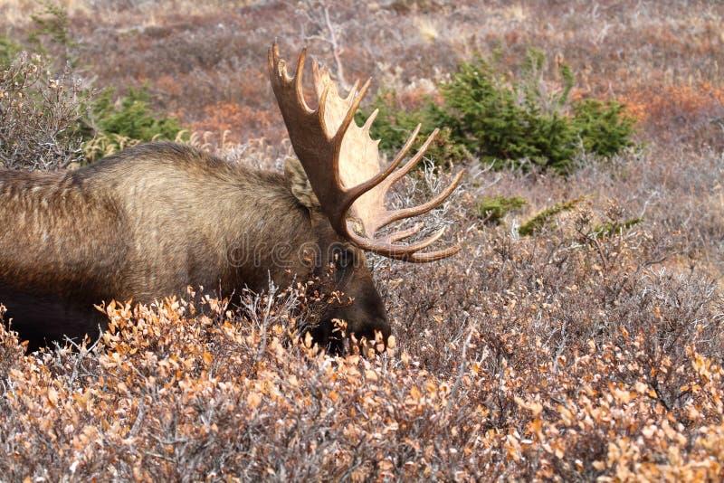 άλκες ταύρων της Αλάσκας στοκ φωτογραφία με δικαίωμα ελεύθερης χρήσης