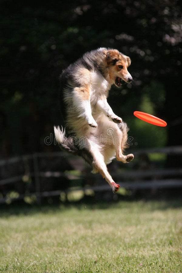 άλματα frisbee σκυλιών δίσκων στοκ φωτογραφίες με δικαίωμα ελεύθερης χρήσης