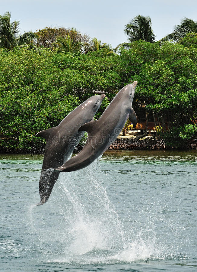 άλμα δελφινιών στοκ φωτογραφίες με δικαίωμα ελεύθερης χρήσης