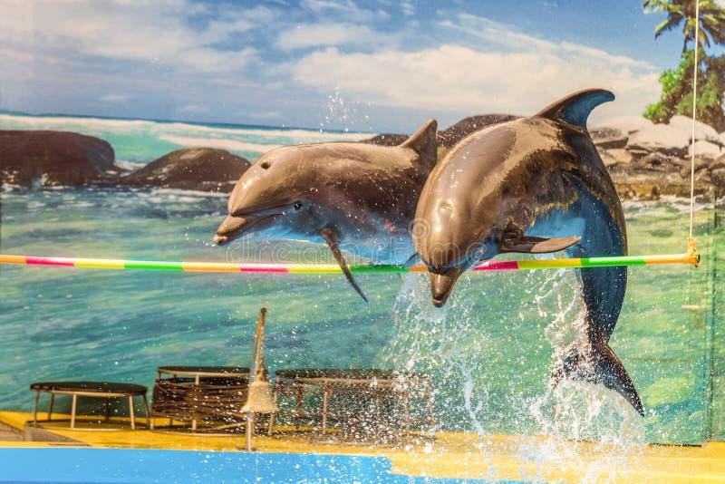 Άλμα δύο δελφινιών πέρα από μια κρεμώντας εγκάρσια ράβδο στοκ φωτογραφίες
