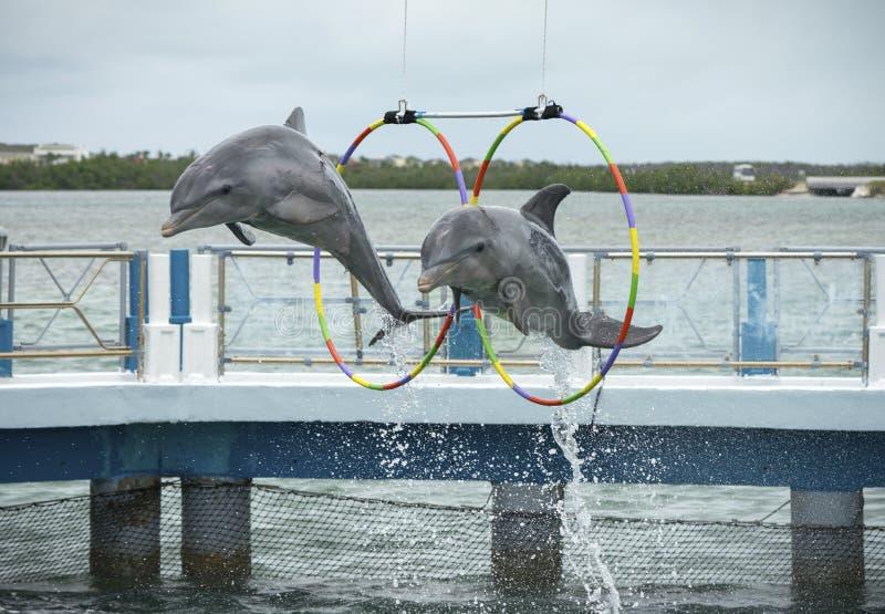 Άλμα δύο δελφινιών στο dolphinarium στοκ φωτογραφία