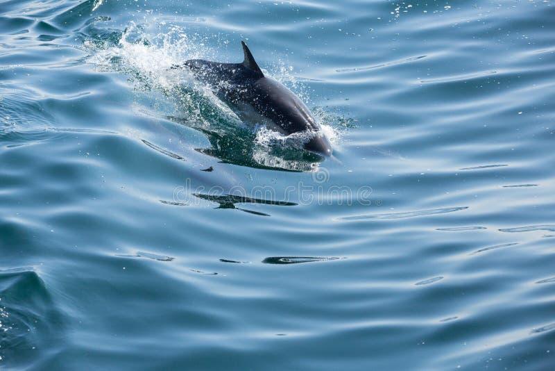 Άλμα και παιχνίδι δελφινιών αμέσως μετά μια βάρκα στοκ εικόνα