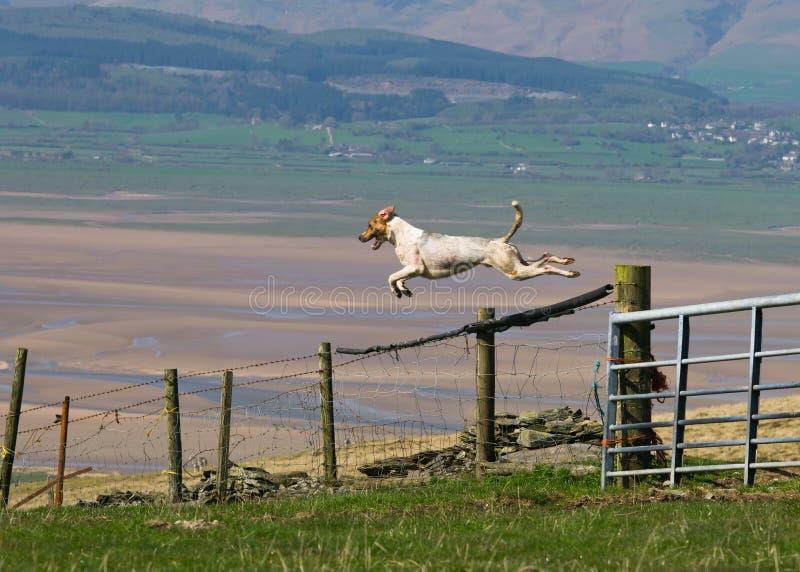άλμα κυνηγόσκυλων πυλών &sigma στοκ φωτογραφίες με δικαίωμα ελεύθερης χρήσης