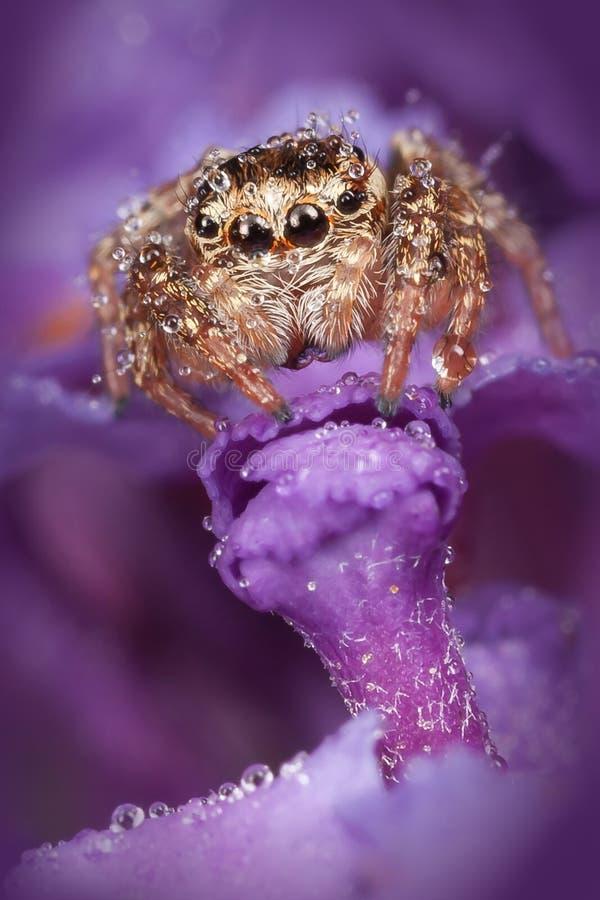 Άλμα της αράχνης στο πορφυρό λουλούδι στοκ φωτογραφίες
