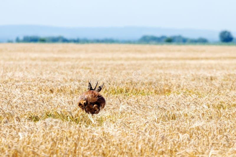 Άλμα Buck ελαφιών αυγοτάραχων στον τομέα σίτου Άγρια φύση ελαφιών αυγοτάραχων στοκ εικόνα