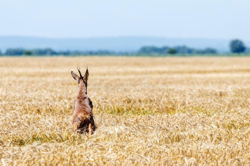 Άλμα Buck ελαφιών αυγοτάραχων στον τομέα σίτου Άγρια φύση ελαφιών αυγοτάραχων στοκ εικόνα με δικαίωμα ελεύθερης χρήσης