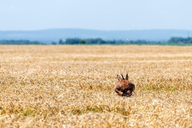 Άλμα Buck ελαφιών αυγοτάραχων στον τομέα σίτου Άγρια φύση ελαφιών αυγοτάραχων στοκ φωτογραφίες με δικαίωμα ελεύθερης χρήσης