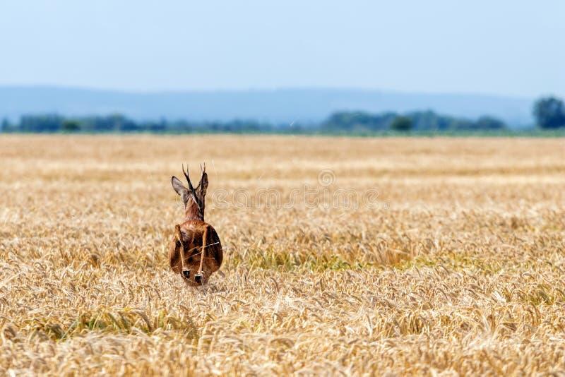 Άλμα Buck ελαφιών αυγοτάραχων στον τομέα σίτου Άγρια φύση ελαφιών αυγοτάραχων στοκ φωτογραφία με δικαίωμα ελεύθερης χρήσης