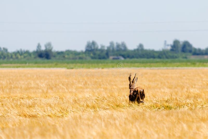 Άλμα Buck ελαφιών αυγοτάραχων στον τομέα σίτου Άγρια φύση ελαφιών αυγοτάραχων στοκ εικόνες