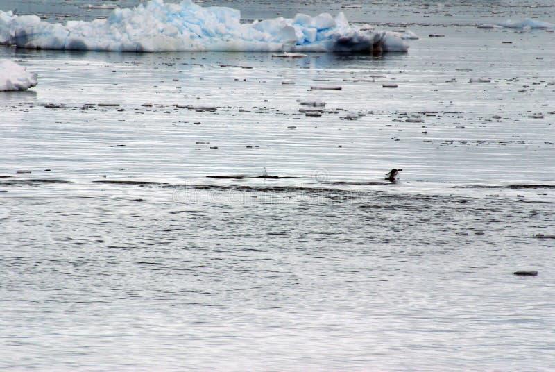Άλμα Gentoo penguin, που περιβάλλεται από τα παγόβουνα στοκ φωτογραφία με δικαίωμα ελεύθερης χρήσης