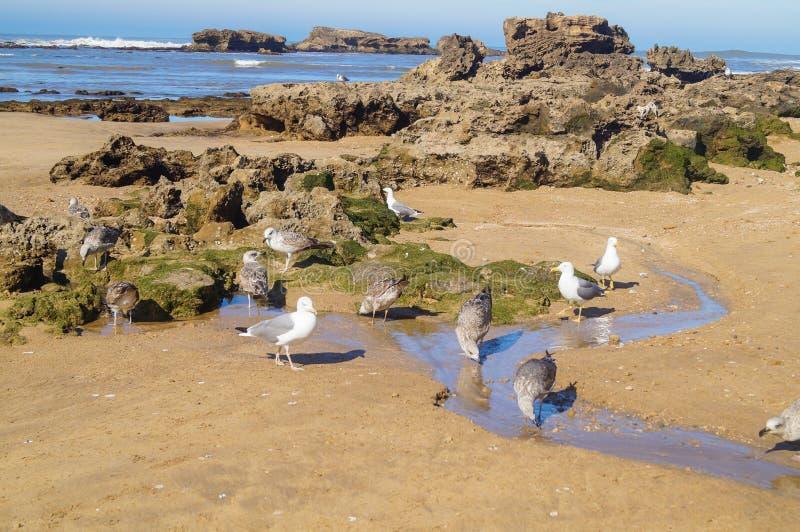 Άλμπατρος στην ακτή του Ατλαντικού Ωκεανού Essaouira στοκ εικόνα