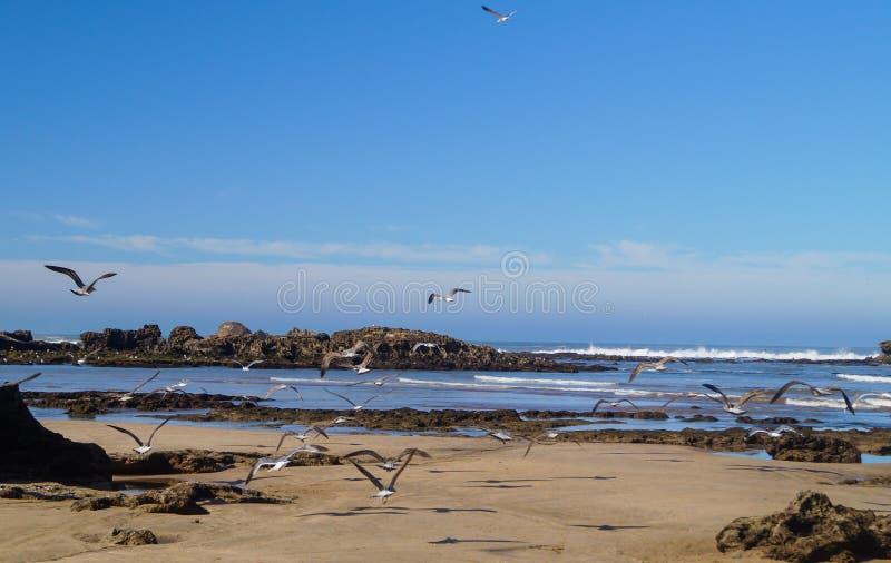 Άλμπατρος στην ακτή του Ατλαντικού Ωκεανού Essaouira στοκ φωτογραφίες