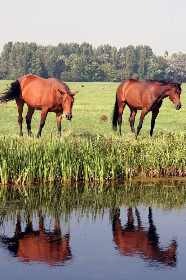 άλογα δύο πεδίων στοκ εικόνα