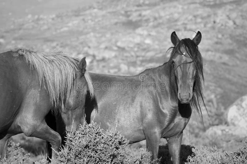 Άλογα ημι-άγρια περιοχών βουνών στοκ εικόνες