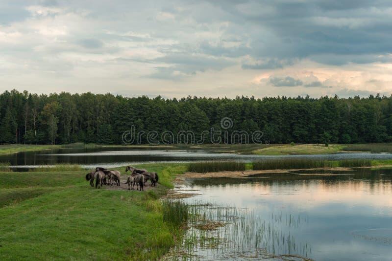Άλογα, ηχώ Stawy, εθνικό πάρκο Roztocze, Πολωνία στοκ εικόνες