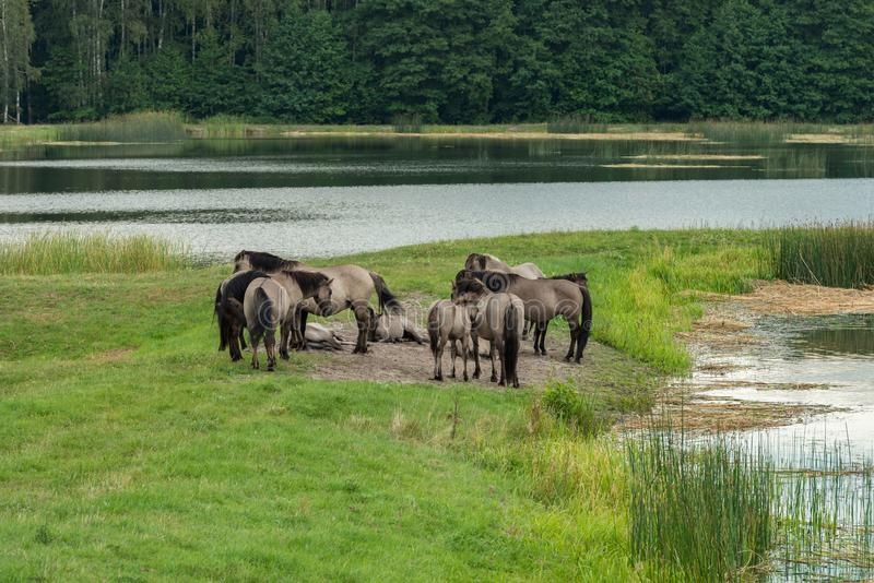Άλογα, ηχώ Stawy, εθνικό πάρκο Roztocze, Πολωνία στοκ φωτογραφία